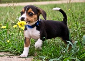 beagle flowers